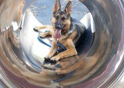 Heidi, a German Shepherd, after her Dog Socialization Training