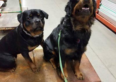 Emmett & Rommel in obedience training on location in Toledo retail store.