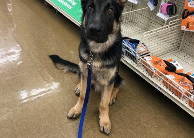 K9 training on location at Pet Supplies Plus with our doggie student, Falko.